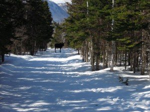Moose on the trail. Taken April 10th, 2014.